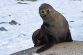 Fur seals sitting on the rocks and scratched — Stock Photo