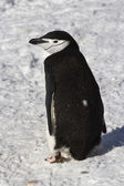 Antarctic penguin or Chinstrap which goes through the snow — Stock Photo