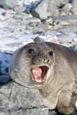 Young southern elephant seal that roars — Stock Photo