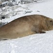Adult male southern elephant seal which lies in the snow Antarct — Stock Photo #51517505