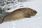 Adult male southern elephant seal which lies in the snow Antarct — Stock Photo