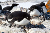 Female Adelie penguin sitting on the eggs in the colony — Stock Photo