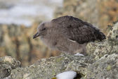 Downy chick South Polar Skua among the rocks of the Antarctic Is — Stock Photo