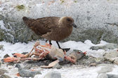 South Polar Skua who eats dead Gentoo penguin chick — Stock Photo