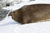 Large male southern elephant seal who crawled through the snow t — Stockfoto