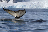 Tail and back of two humpback whales swimming in the background  — Stockfoto