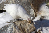 Snowy Sheathbill which stands on a rock and cleans its beak — Stockfoto