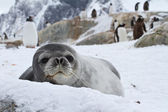 Weddell seal which looks out over the snowy hills — Stock Photo