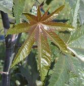 Duży kolorowy liść w ogrodzie — Zdjęcie stockowe