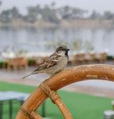 Sparrow na dřevěné židli — Stock fotografie