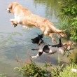 A Golden Retriever and Springer Spaniel leaping into water — Stock Photo