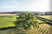 дерево на краю поля — Стоковое фото