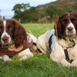 Working type english springer spaniels together — 图库照片
