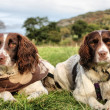Working type english springer spaniels together — Stok fotoğraf