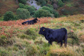 Welsh black cattle — Stock Photo
