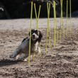 Working type english springer spaniel doing agility weaving on a beach — Stock Photo