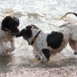 Liver and white working type english springer spaniel pet dogs in the sea — Stockfoto