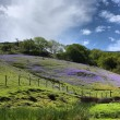 Stock Photo: Bluebells on hill