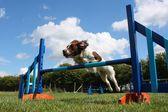 Working type english springer spaniel pet gundog jumping over agility equipment jumps — Stock Photo