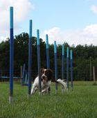 Hübsch arbeiten Typ English Springer Spaniel Haustier Gundog Weben durch Agility Geräte — Stockfoto