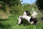 Working type english springer spaniel pet gundog — Stock Photo