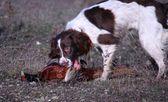 Trabajo caza del animal doméstico de springer spaniel inglés de tipo trabajando con faisán — Foto de Stock