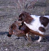 Working type english springer spaniel pet gundog working with pheasant — Stock Photo