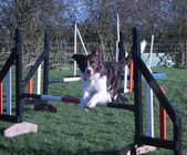 Handsome liver and white sprollie - a collie cross springer spaniel dog pet — Stock Photo