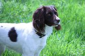 A very cute liver and white working type english springer spaniel pet gundog — Стоковое фото