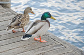 Wild ducks on a beautiful lake — Stock Photo