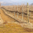 Rows of vines — Stock Photo #13480390