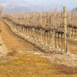 Rows of vines — Stock Photo