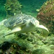Green seturtle — Stock Photo #16817031