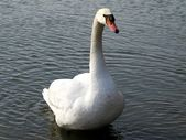 White swan on the lake — Stock Photo
