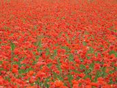 Bright red poppies large field in spring — Stock Photo