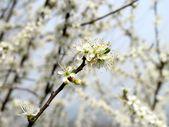 Wild blackthorn flowers — Stock Photo