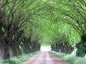 Country road covered with mulberries trees — Stock Photo
