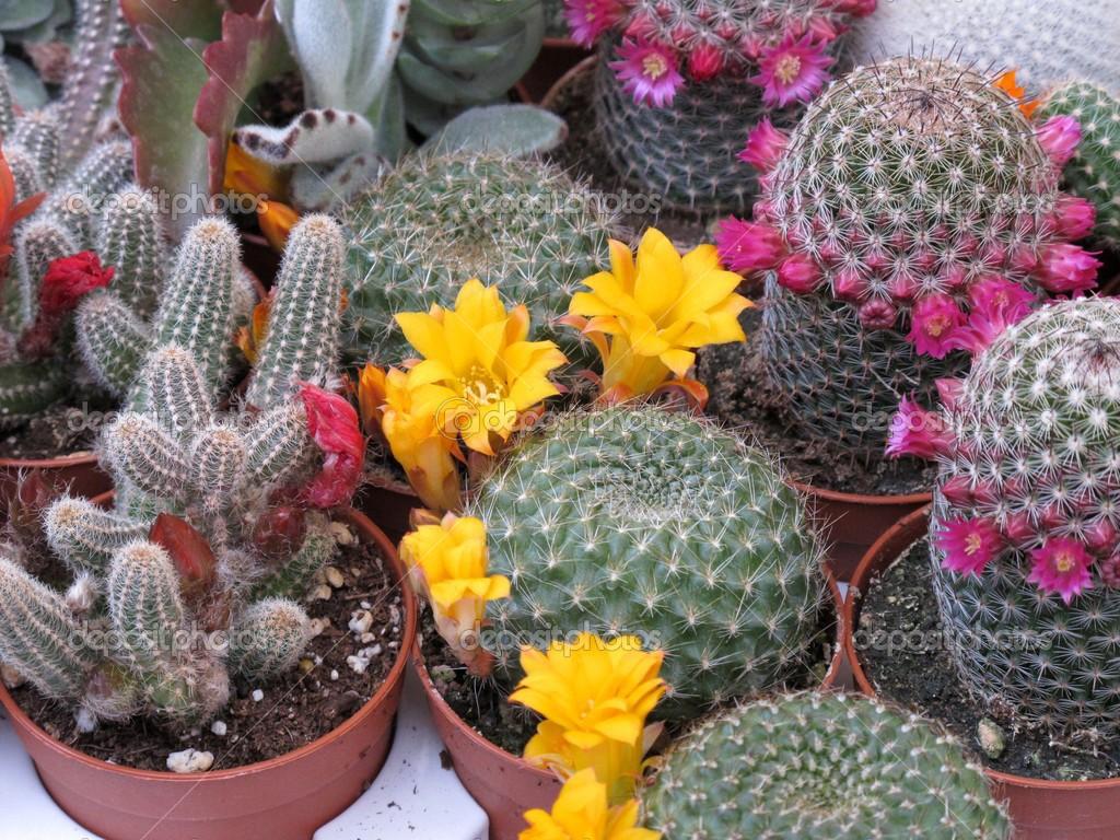 Piante grasse fiorite foto stock cristalvi 48145921 - Piante fiorite ...