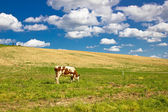 Single cow in green nature — Stock Photo