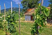 伝統的なブドウ畑と kalnik のコテージ — ストック写真