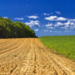 Stock Photo: Agricultural landscape - young corn field