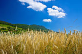 Wheat field under colorful mountain — Stock Photo