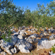 Olve tree grove in stone landscape — Stock Photo