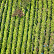 Green hill vineyard aerial view — Stock Photo