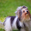 Face of biver york shire terrior dog standing in home garden - Stock Photo