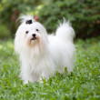 Stock Photo: White maltese dog standing in home garden
