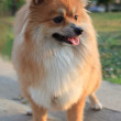 Face of pomeranian dog - Stockfoto