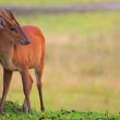 Barking deer in khaoyai national park thailand — Stock Photo