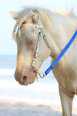 White horse with braid forelock — Stock Photo