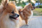 Faccia di cane pomerania — Foto Stock